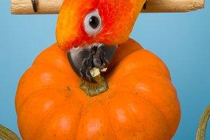 Parrot N Pumpkins #4