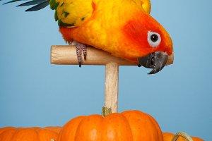 Parrot N Pumpkins #2