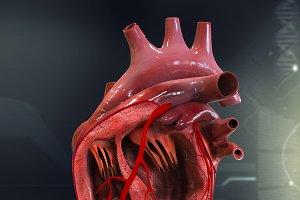 Human Heart Cutaway Anatomy