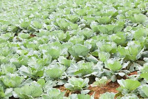 Agriculture cabbage