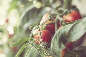 fresh bio tomato