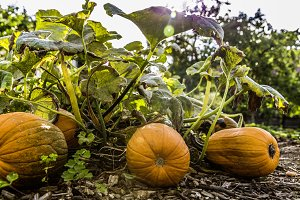 fresh bio pumpkin
