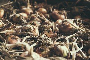 fresh bio onion