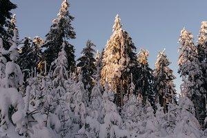Winter Forest Scene