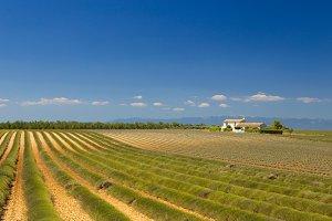 Lavender field after harvesting.