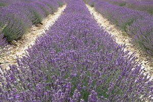 Straight rows of lavender plants