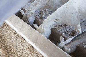 horses eating barley