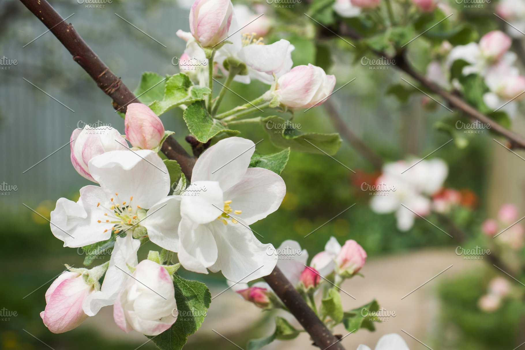 Flowers And Buds Of Apple Trees High Quality Nature Stock Photos