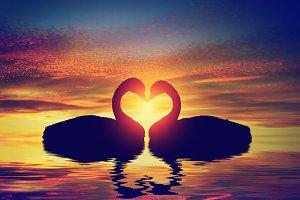 Two swans making a heart shape