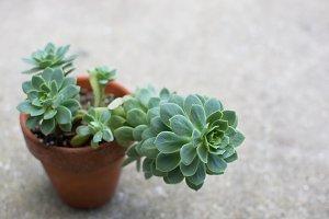 Succulent in a pot multiple images