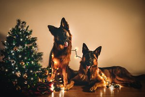 Christmas German Shepherd Dogs