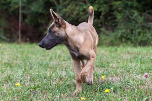 Belgian malinois dog puppy