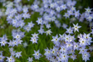 Blue and white japanese flowers