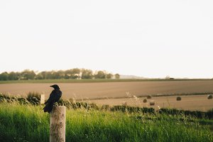 Crow on the fields