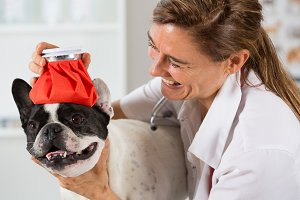 French Bulldog in the clinic