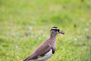 Crowned Lapwing (Vanellus coronatus)