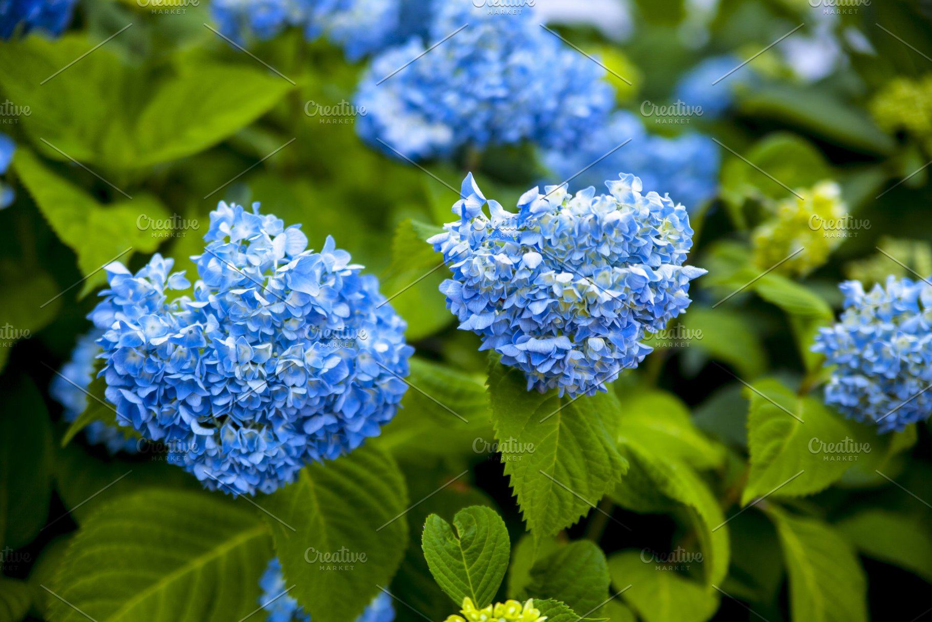 Blue Hydrangea Flowers On Bush High Quality Nature Stock Photos