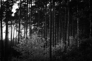 Black & White Forest #10
