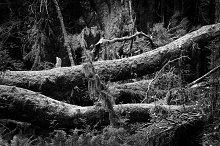 Black & White Forest #16
