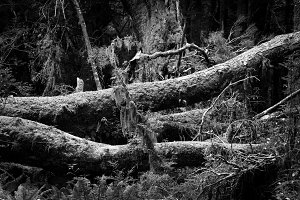 Black & White Forest #16