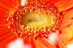 Geber flower