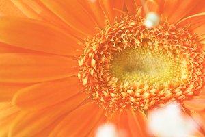 Gerber floral card