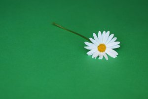 Daisy flower on green