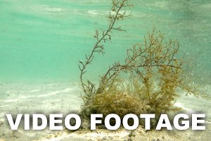 Seaweed Growing Underwater