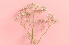 Gypsophila flowers by  in Nature