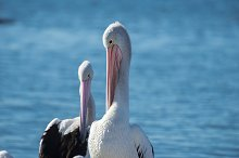 Australian Pelicans by  in Animals