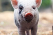 Cute little pigs in the farm by  in Animals
