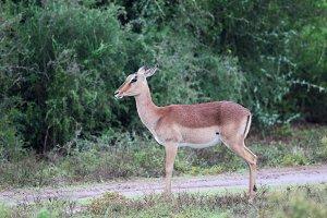 Female Impala (Aepyceros melampus)