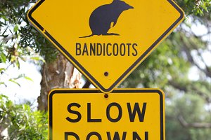 Attention Bandicoots