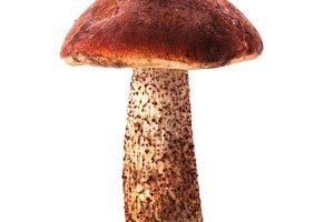 Orange-cap boletus mushroom