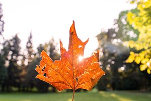 Sun glowing through autumn leaf