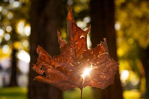 Sun glowing through the autumn leaf