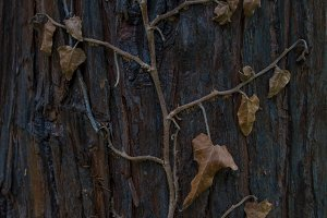 Deady ivy on tree's bark