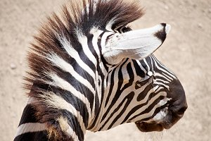 Zebra's head with beautiful eye