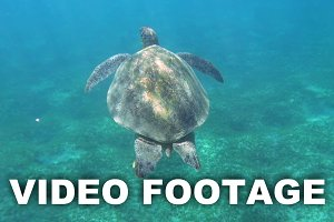 Big sea turtle swimming clear blue