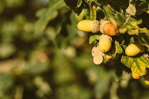 Acorns and Oak Leaves in Summer