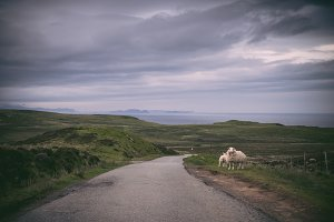 Sheep in Skye island, Scotland