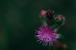 Thistle Flower on dark Background