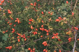 Red Rose Hips in Summer