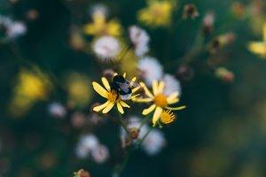 Bumblebee #01