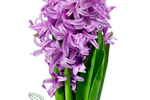 Bouquet from hyacinth.