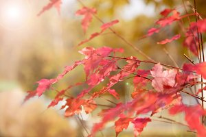 autumn background with red leaf