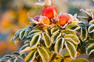 frozen rose berries and leaves