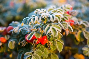 frozen berries and leaves