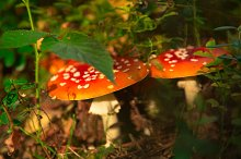 two red mushroom in forest