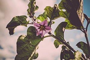 iseeyouphoto aubergine flower